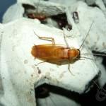 Blatta lateralis hím imágó