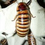 Elliptorhina javanica nőstény imágó