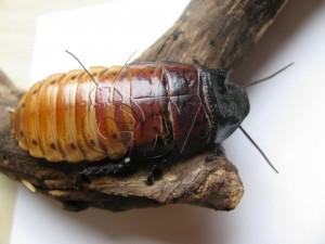 Gromphadorhina portentosa