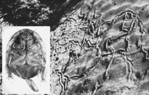 Egy Arenivaga faj 2-3 cm széles nyomai egy sivatagi bokor tövében