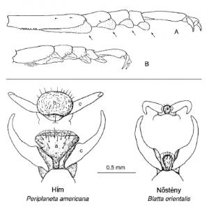 A csótányok lábán lévő ragadós képletek