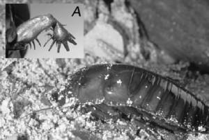 Egy homokba magát beásni készülő Macropanesthia rhinoceros