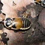 Lucihormetica verrucosa nőstény imágó