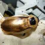 Blaberus discoidalis nőstény imágó
