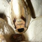 Blaberus discoidalis hím imágó