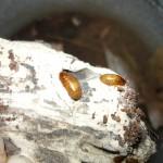 Blaberidae sp. 'Kenya' nimfa