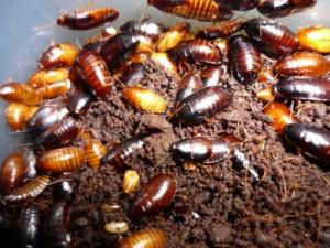 Blaberidae sp. 'Kenya' (kép forrása: internet)