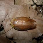 Gyna lurida nőstény imágó