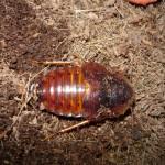 Hemiblabera brunneri hím imágó